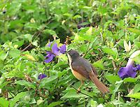 Ashy Prinia smelling a purple bell flower