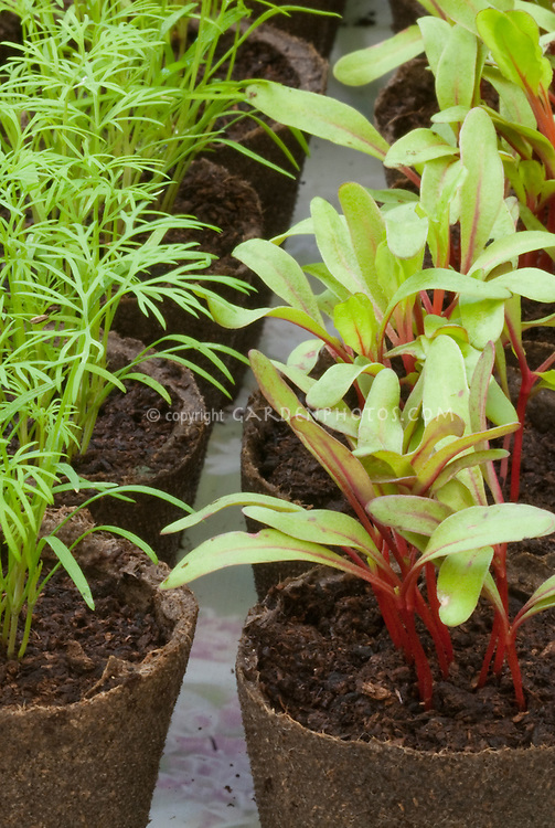 Seedlings: Dill & Chard in peat pots, starting from seeds