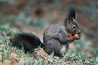 Red squirrel (Sciurus vulgaris), adult black phase, Switzerland