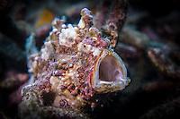 Warty frogfish (Antennarius maculatus) yawning