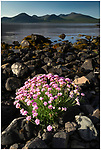 Thrift (Armeria maritima) flowering on shoreline of Loch Na Keal. Isle of Mull, Inner Hebrides, Scotland, UK. June 2011.