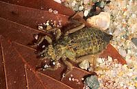 Gemeine Keiljungfer, Larve im Wasser, Nymphe, Gomphus vulgatissimus, club-tailed dragonfly, clubtailed dragonfly, Flußjungfer, Flussjungfer, Gomphidae, clubtail dragonflies
