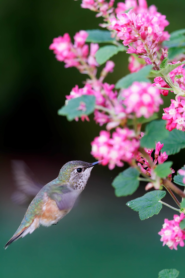 Female Anna's hummingbird (Calypte anna) hovering to feed from pink flowering currant blossom, Snohomish, Washington, USA