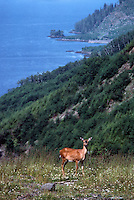 Black-tailed Deer aka Blacktail Deer (Odocoileus hemionus columbianus), Haida Gwaii, BC, British Columbia, Canada - North American Wildlife