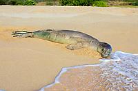 Hawaiian monk seal, Neomonachus schauinslandi (formerly Monachus schauinslandi), resting on the beach, endemic species, endangered species, Kepuhi Beach, Kaluakoi, Molokai, Hawaii, USA, Pacific Ocean