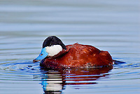 Ruddy duck (Oxyura jamaicensis) drake.