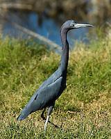 Little Blue Heron, Choke Canyon State Park, TX