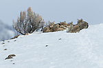 Coyote (Canis latrans) pack in winter, Lamar Valley, Yellowstone National Park, Wyoming