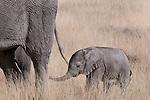 Young African elephant calf following its mother, Etosha National Park, Namibia. (This species is found in many African countries including South Africa, Botswana, Zambia, Zimbabwe, Namibia, Tanzania, Kenya, Rwanda, Uganda, Angola, Democratic Republic of Congo)