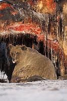 brown bear, Ursus arctos, grizzly bear, Ursus horribilis, subadult scavenging on a bowhead whale, Balaena mysticetus, carcass, 1002 coastal plain of the Arctic National Wildlife Refuge, Alaska