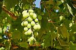 Israel, Jerusalem mountains. Grapevine at the Binlical Garden in Yad Hashmona