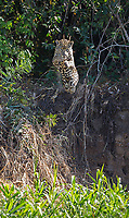 A jaguar launches itself toward the water and an unsuspecting caiman.