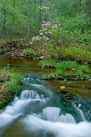 Fragrant pink azalea,  Otter Creek Flats<br /> Otter Creek,  Blue Ridge Parkway<br /> Jefferson National Forest<br /> Blue Ridge Mountains,  Virginia