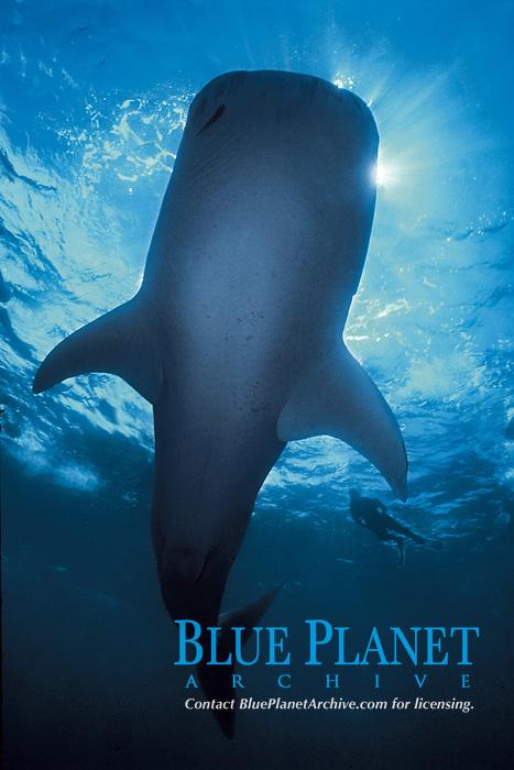 whale shark, Rhincodon typus, Pacific Ocean