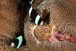 Clarke Anemonefish (Amphiprion clarkii) fanning her eggs.