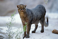 Jaguarundi (Puma yagouaroundi).  Found from southern Texas to South America.  (CA).