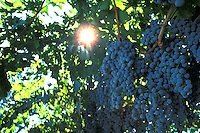 ripe grapes on vine sun burst California