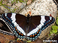 """0704-0804  White Admiral Butterfly, Limenitis arthemis """"Northeast United States Form""""  © David Kuhn/Dwight Kuhn Photography"""