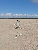 Least Tern (Sterna antillarum), adult sitting on nest, South Padre Island, Texas, USA