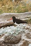 Magellanic Oystercatcher on Carcass Island.