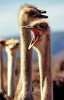 Ostriches.  Close up of birds on a farm in the Karoo, Cape Province, South Africa.