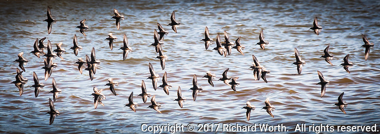 In loose formation, but still in unison, a fling of Western sandpipers takes flight, zooming and turning over San Leandro Bay, Oakland, CA.