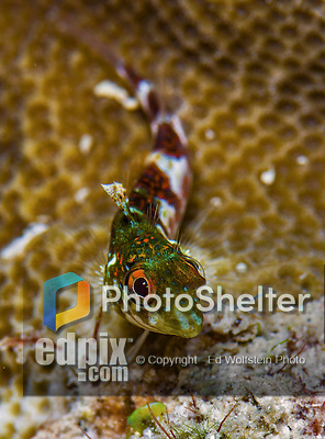 13 June 2014: A Blenny Fish (Blennioidei) is seen at Schoolhouse Reef, on the North Shore of Grand Cayman Island. Located in the British West Indies in the Caribbean, the Cayman Islands are renowned for excellent scuba diving, snorkeling, beaches and banking.  Mandatory Credit: Ed Wolfstein Photo *** RAW (NEF) Image File Available ***