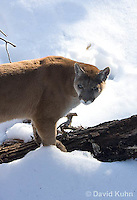 0218-1009  Mountain Lion (Cougar) in Snow, Puma concolor (syn. Felis concolor)  © David Kuhn/Dwight Kuhn Photography.