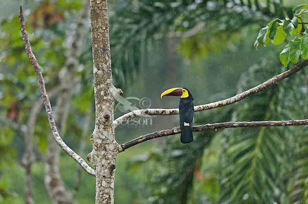 Chestnut-mandibled Toucan, or Swainson's Toucan (Ramphastos swainsonii or Ramphastos ambiguus swainsonii) in the rain.  Found from Honduras south through Central America into northern South America.  This photo is taken in the rain in Costa Rican lowland rainforest.