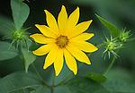 Jerusalem Artichoke wildflower (Helianthus tuberosus)