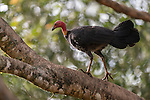 The Australian brushturkey or Australian brush-turkey (Alectura lathami), also frequently called the scrub turkey or bush turkey perched on a tree branch, is a common, widespread species of mound-building bird from the family Megapodiidae found in eastern Australia from Far North Queensland to Illawarra in New South Wales. The Australian brushturkey has also been introduced to Kangaroo Island in South Australia. It is the largest extant representative of the family Megapodiidae and is one of three species to inhabit Australia. Despite its name and their superficial similarities, the bird is not closely related to American turkeys, or to the Australian bustard, which is also known as the bush turkey.