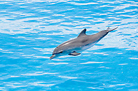 Jumping Spotted dolphin Stenella frontalis Atlantic Ocean Bahamas