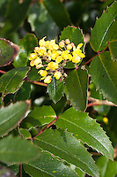 Gewöhnliche Mahonie, Stechdornblättrige Mahonie, Mahonia aquifolium, Berberis aquifolium, Oregon Grape, Oregon-grape, Mahonia faux-houx, Mahonia à feuilles de houx