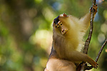 Southern Pig-tailed Macaque (Macaca nemestrina) male climbing down liana, Tawau Hills Park, Sabah, Borneo, Malaysia