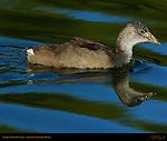 American Coot Juvenile, Sepulveda Wildlife Refuge, Southern California