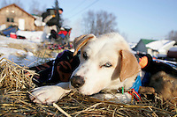 """Wednesday March 7, 2007   ----  Scott Smith's dog """"Marley"""" rests in the sun at Takotna during Scott's 24 hour layover Wednesday evening."""