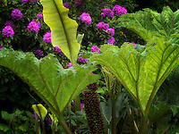 Tropical Elephant Ear plant and rhododendrons. Schrieners Iris Gardens. Oregon