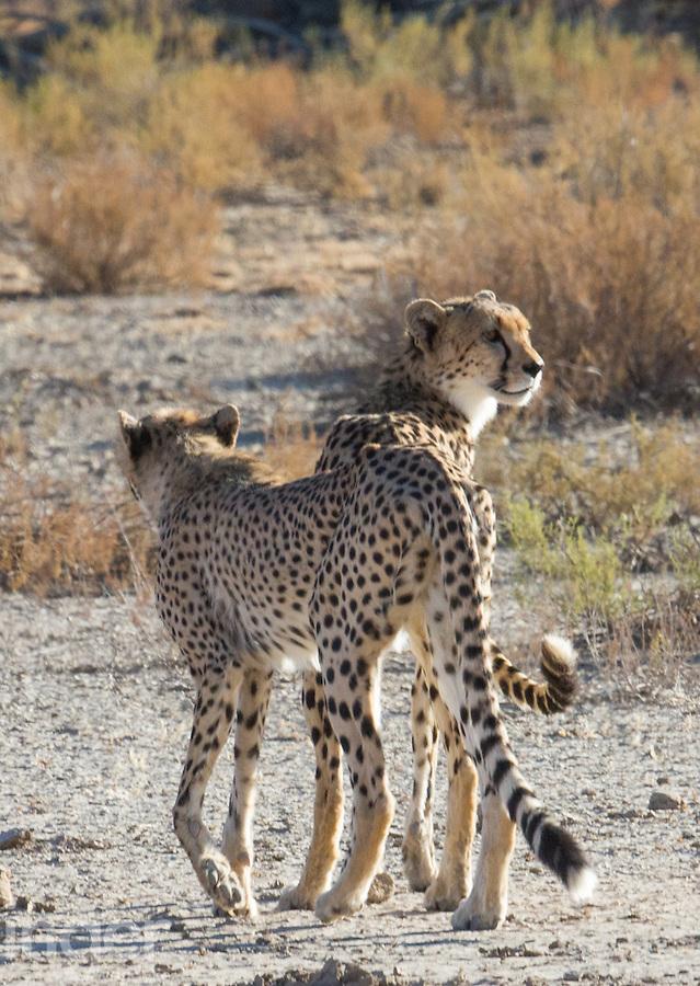 Cheetah in Kgalagadi Transfrontier Park, South Africa