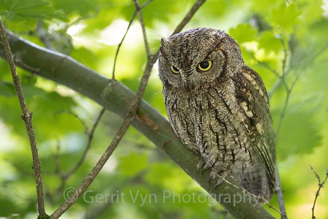 Adult female Western Screech-Owl (Megascops kennicottii) still hunting. Multnomah County, Oregon. June.