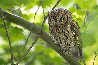 Adult female Western Screech-Owl (Megascops kennicottii) still hunting. Multnomah County, Oregon. June.
