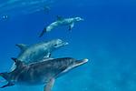 Dolphins, Bimini Undersea Adventures, Mares fins, Max Devine, Model: Hannah Gibson, Maravilla Dolphins, Bahamas fun in the sun, Snorkeling, free diving.