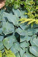 Hosta Halcyon, blue leaved perennial plant