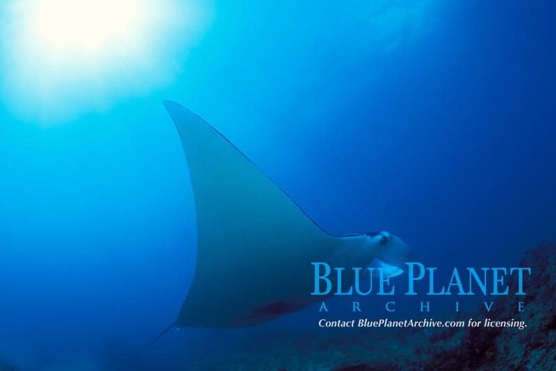 reef manta ray, Mobula alfredi, Manta Bommie, N. Stradbroke Island, near Brisbane, Queensland, Australia
