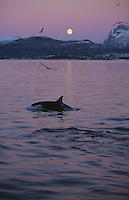 Killer whale, Orcinus orca, Calf surfacing by moonlight at dusk, Tommeras fjord, Tysfjord, Arctic Norway, North Atlantic