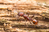 A Spine-waisted Ant (Aphaenogaster tennesseensis) carries its scavenged food, a woodlouse, back to its nest.