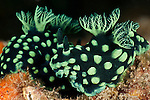 Nudibranchs (Nembrotha cristata)