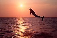 bottlenose dolphin, Tursiops truncatus ( c-r ), leaping at sunset, Roatan, Honduras, Atlantic Ocean