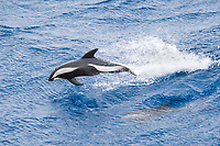 Hourglass Dolphin, Lagenorhynchus cruciger, Female Dolphin porpoising, Drake Passage, Southern Ocean Females of this species can be identified by the smaller less-hooked dorsal fin and the lack of a post-anal keel.