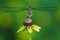 Blue Dasher, Pachydiplax longipennis, female on Clasping-leaved Coneflower(Dracopis amplexicaulis),  Willacy County, Rio Grande Valley, Texas, USA