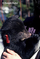 MA01-005z  Black Bear - teenage girl holding cub removed by biologists from winter den - Ursus americanus